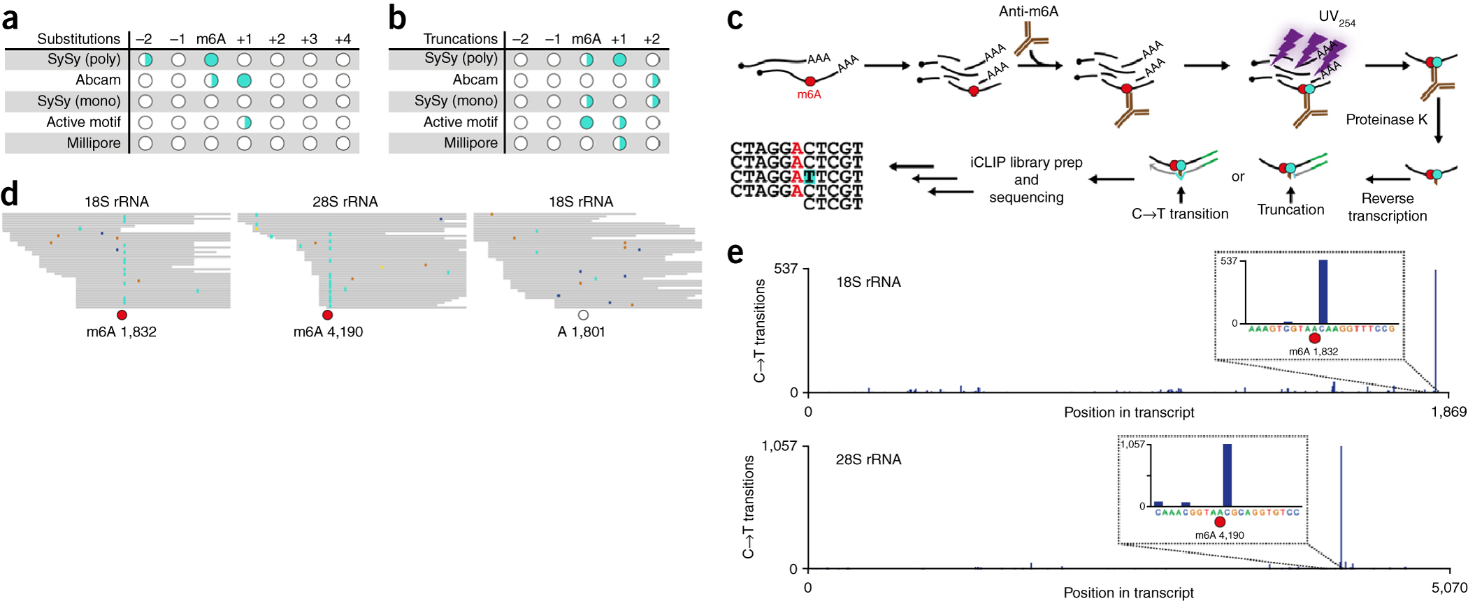 Anti-m6A induces signature mutations that directly indicate the location of m6A.