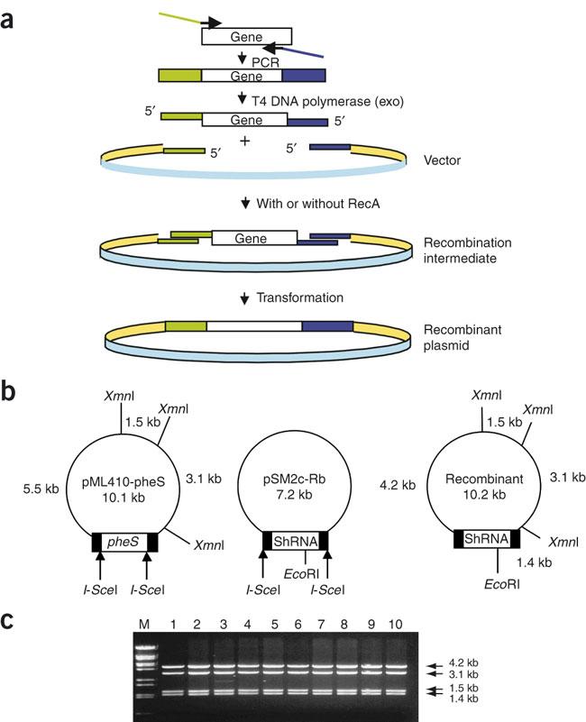 In vitro recombination of MAGIC vectors mediated by RecA.