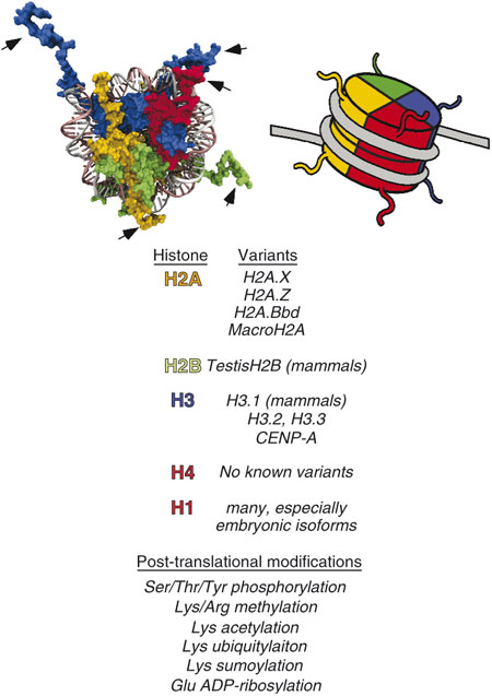 Depiction of histones in the nucleosome.