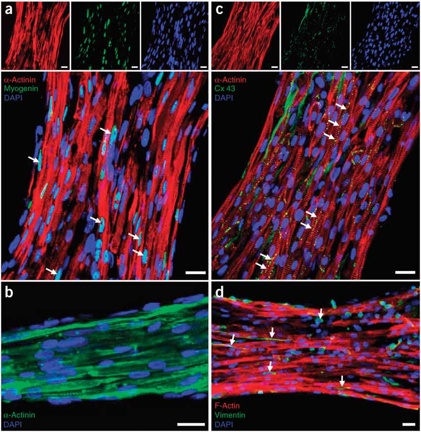 Assessment of cell differentiation and distribution within the muscle tissue constructs.