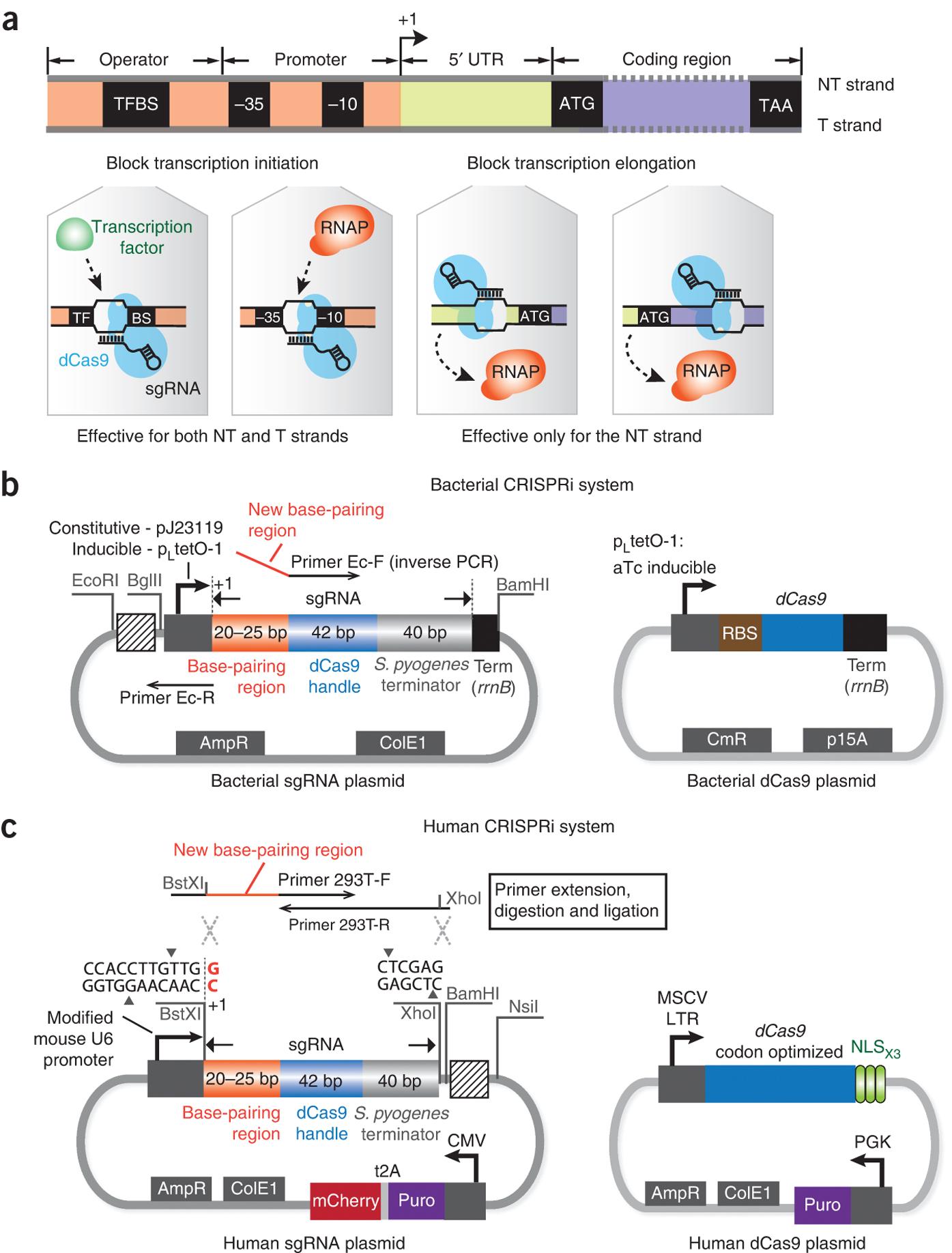 The CRISPRi system for transcription repression in bacteria and human cells.