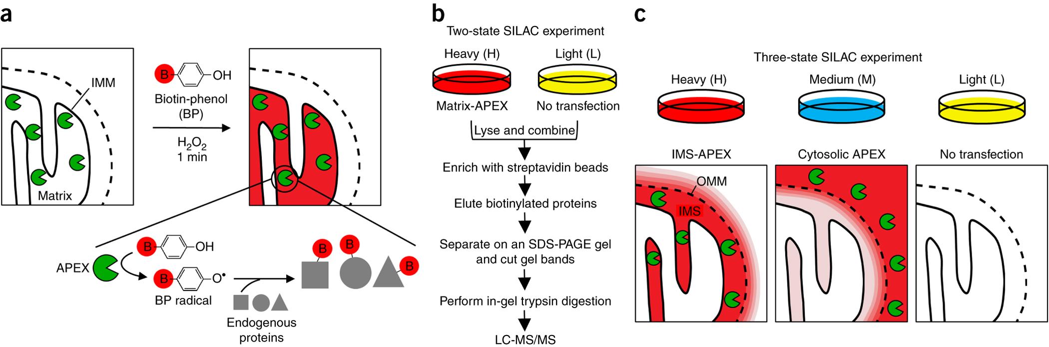 Live-cell proteomics using APEX.