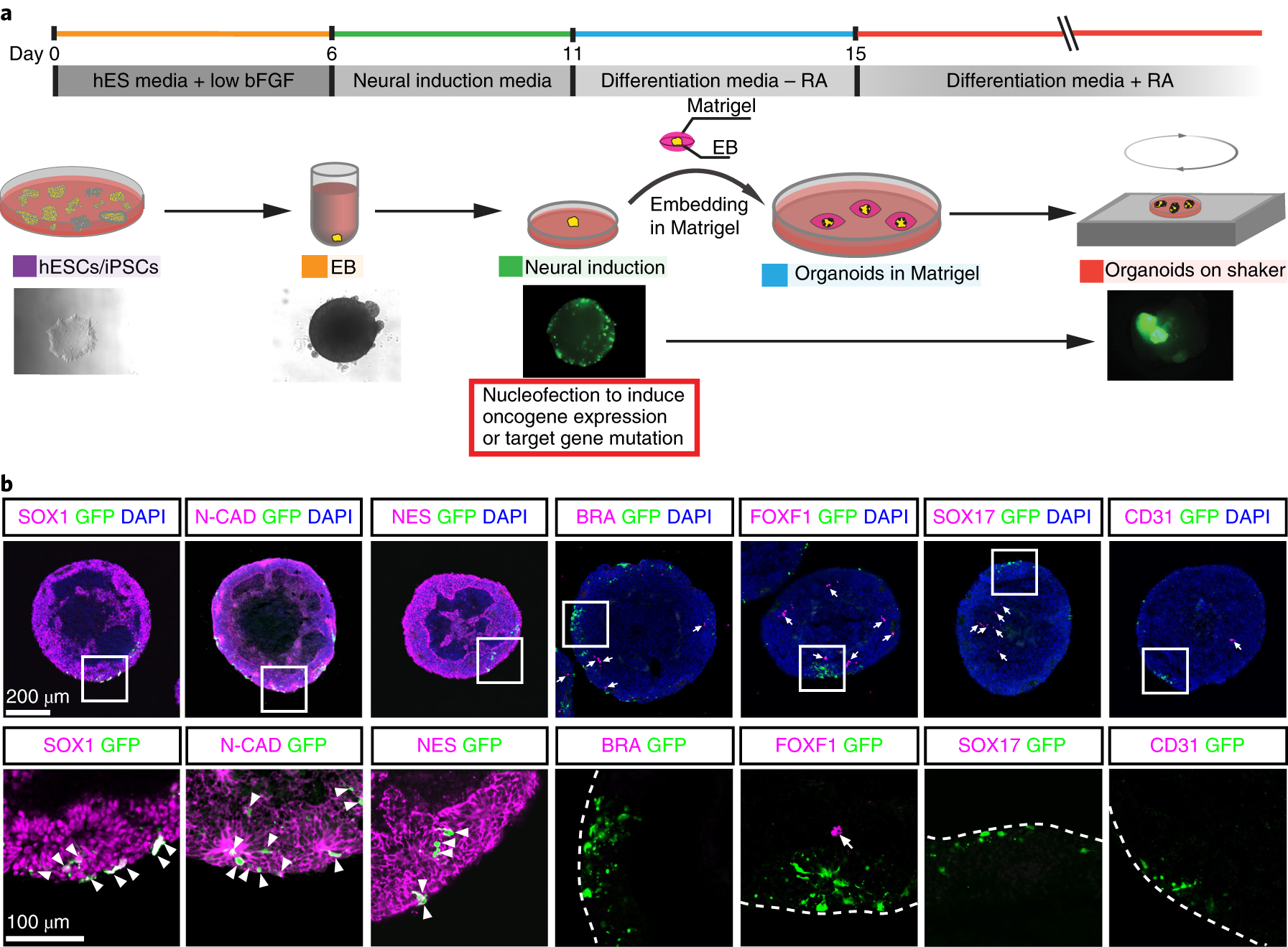 Introducing genome-editing constructs into neural stem/precursor cells of cerebral organoids.