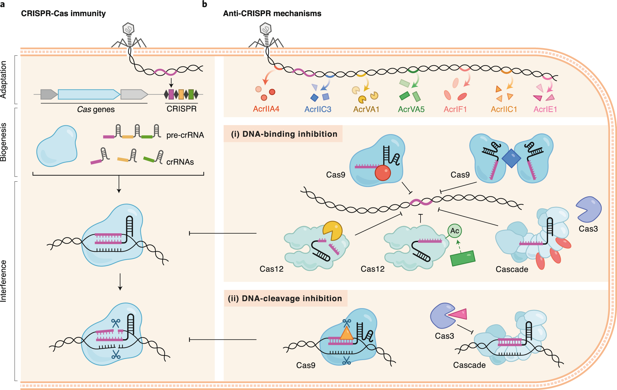 Stages of CRISPR-Cas immunity and mechanisms of Acr function.