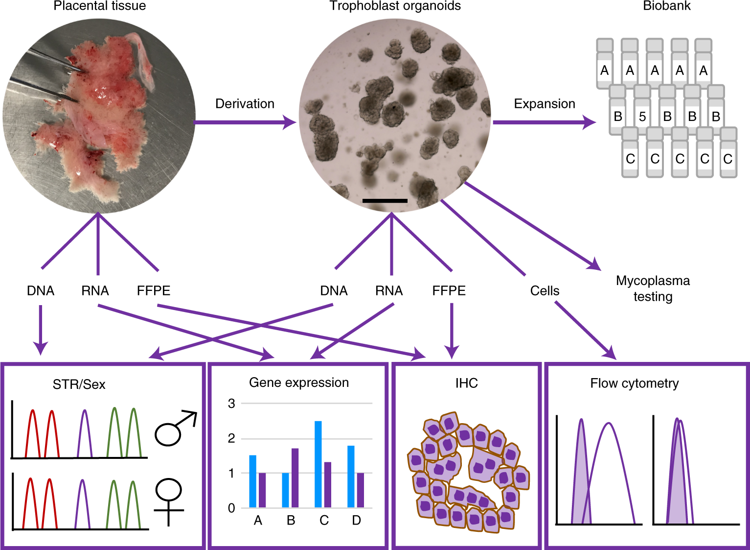 Summary of derivation, validation and quality control of trophoblast organoids.