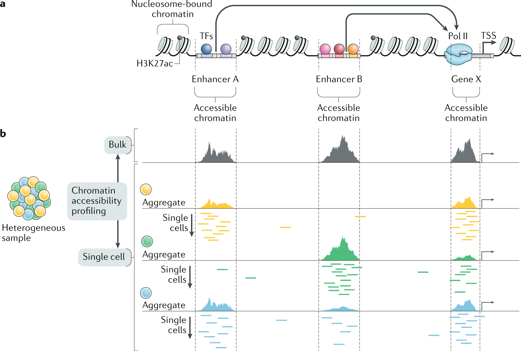 Chromatin accessibility profiling in bulk and at single-cell level reveals putative regulatory regions.